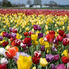 Wooden Shoe Tulip Farm : 25th Anniversary Tulip Fest - 2010